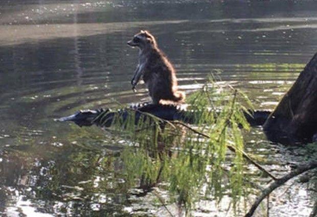 Guaxinim 'corajoso' saltou sobre jacaré em rio na Flórida (Foto: Reprodução/Twitter/)