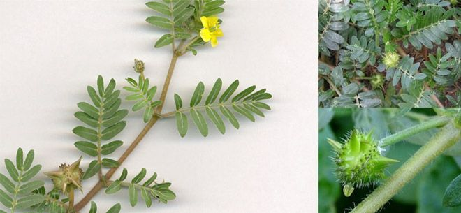 The Benefits, Usage, Dosage, and Side Effects of Tribulus Terrestris