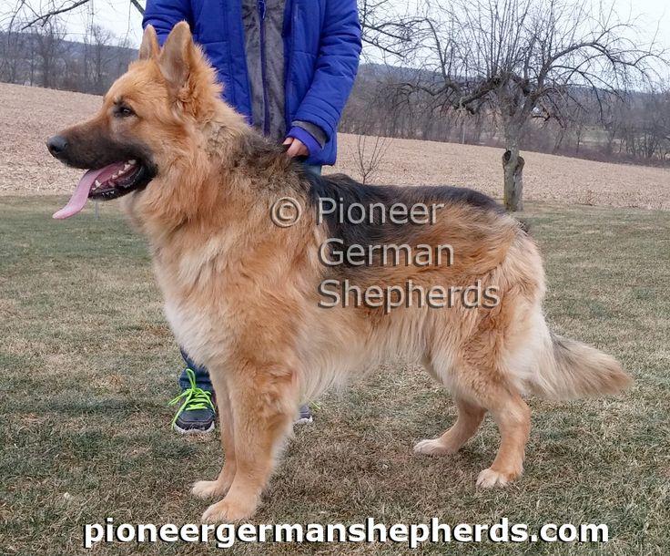 Giant German Shepherd with faded saddle