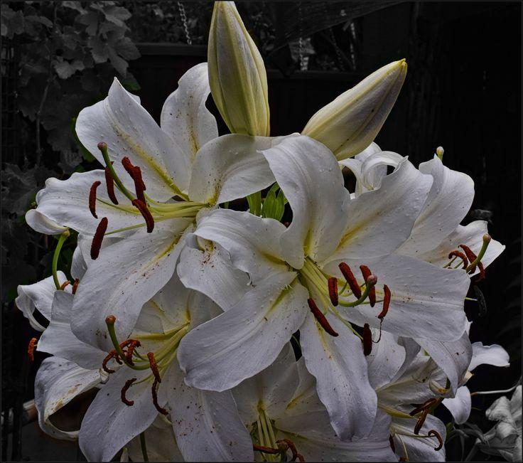 White Oriental Lilies by Wendy Allen on 500px