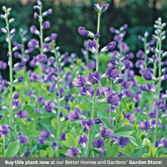 Baptisia Australis is heat, drought, deer, and rabbit resistant, doesn't need to be divided, and the blue-green foliage looks great in the garden from spring to fall.