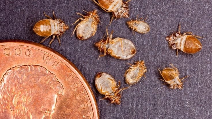 Bed bugs are common household pests, but they are notoriously difficult to remove.