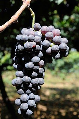 By The Tun: Top 10 Negroamaro Wines from Puglia