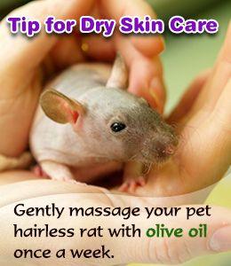 Hairless pet rat care tips
