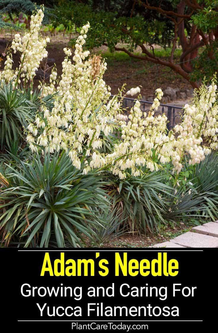 Growing Yucca Filamentosa Caring For Adam Yucca Filamentosa Adam S Needle Flowering Evergreen Shrub Unique Shape Sw Yucca Filamentosa Yucca Yucca Plant