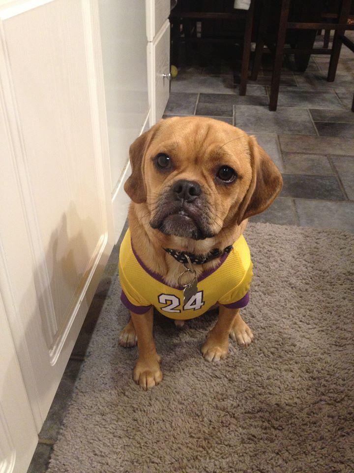 LA Lakers Kobe Bryant Dog Jersey | Dog jersey, La lakers, Lakers ...