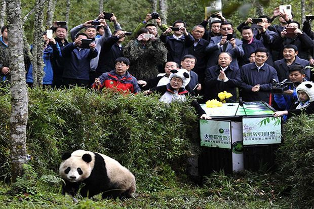 A two-year-old captive-bred panda named Xue Xue was released on Oct. 14 into China's Liziping Nature Reserve. The giant panda had to be trained in habitat and food selection as well as how to avoid predators.  Xue Xue was wary when released into the wild and had to be coaxed out by trainers dressed …