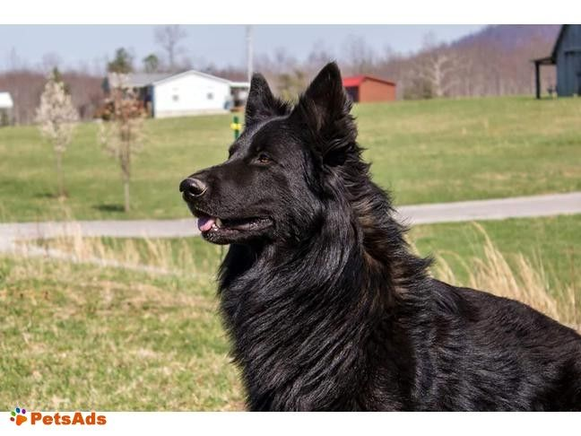 GERMAN/CZECH FOUNDATION IMPORT LINES GERMAN SHEPHERD PUPPIES Taking deposits on breedings now.. Deposits are $100.00 non refundable Females $1200-L Males $1800 L Prices subject ...