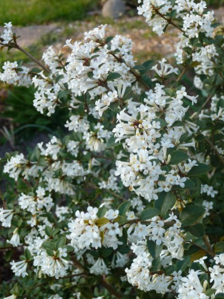 17 best images about osmanthus ylang ylang cananga on for Small slow growing evergreen trees