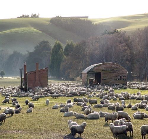 Sheep and sheds, Waitahuna    by Paul Webby