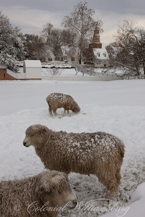 Sheep in winter pasture. Christmas snow in Colonial Williamsburg's Historic…