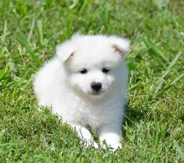 Our Puppies For Sale Puppies American Eskimo Puppy American
