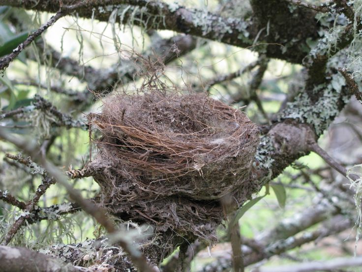 Willie Wagtail nest. This nest was built by a pair who raised 3 chicks in it this year (2013)