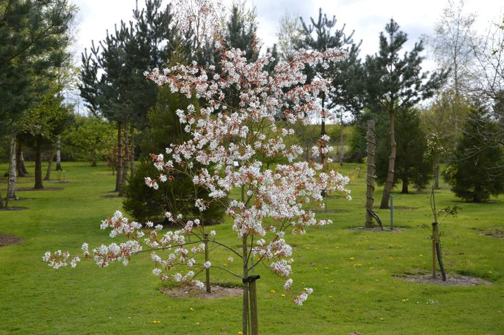 The 9 best images about amelanchier on pinterest trees for Small trees suitable for small gardens