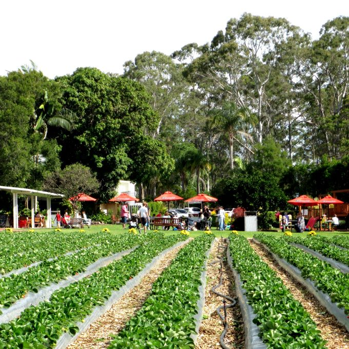 PICK YOUR OWN STRAWBERRIES 7 DAYS A WEEK! Strawberry Fields is located at 133 Laxton Rd, Palmview, QLD, 4553. Exit 190 off Bruce Highway. It is not far from Aussie World and just a hop skip and a jump from the amazing Sunshine Coast and it's family friendly beaches.