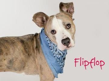 Check out *Flipflop's profile on AllPaws.com and help him get adopted! *Flipflop is an adorable Dog that needs a new home. https://www.allpaws.com/adopt-a-dog/catahoula-leopard-dog/6510206?social_ref=pinterest