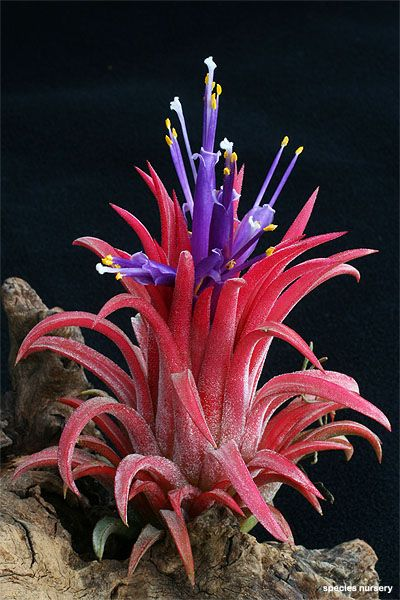 Tillandsia ionantha's purple flowers