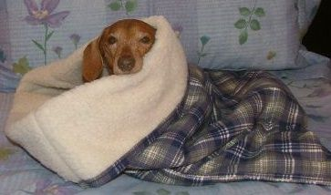 Snuggle Sleep bag for dachshund diggers  My Dachshund/Jack Russell mix so needs this!  He is very talented at covering himself up with a blanket and he always seems to be cold and hates the ceiling fan blowing on him.