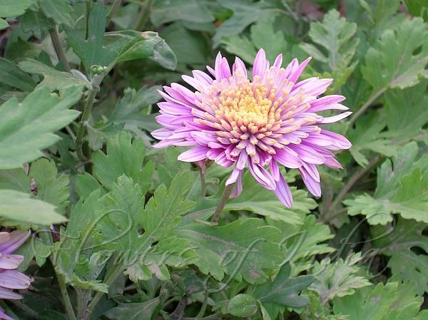 Chrysanthemum indicum #sunflowerfamily #theirflowerscomeineverycolorexeptblue #mums #commonlyrefferedtoamongstflorist #homegarden #notes Chrysanthemums are one of the easiest plants to grow, but show-quality and non-hardy blooms require a great deal of care. Light: Full early sun, at least 5-6 hours daily. Location: Chrysanthemums are susceptible to mildew, so keeping the plants dry is a priority. They need plenty of air circulation, water drainage, and morning sun to dry the dew on the…