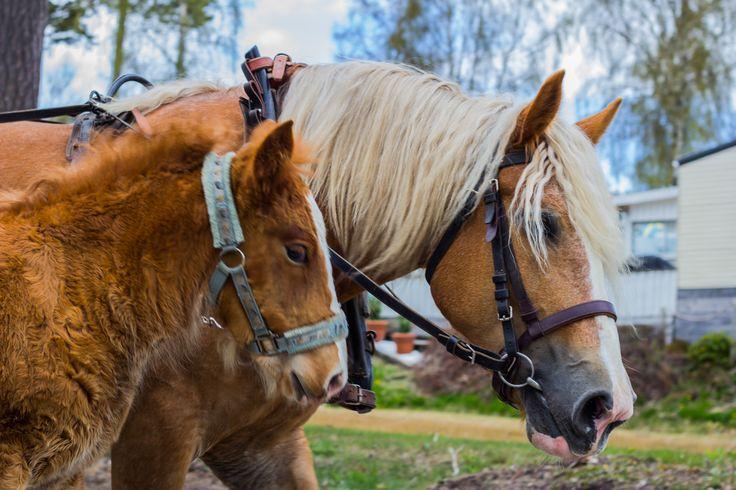 Gillar du hästar och ridning. Då har du kommit rätt. På Hafsten kan du rida på hästar, ponny och åka hästvagn.