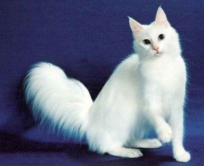 Turkish Angora Cat http://www.petsworld.in/blog/long-haired-white-cat.html