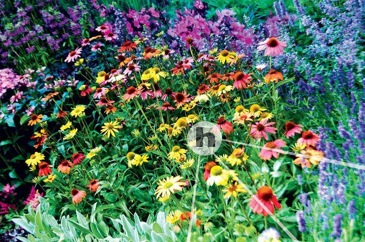 Jeżówka Echinacea Cheyenne Spirit Hyzop - sklep ogrodniczy