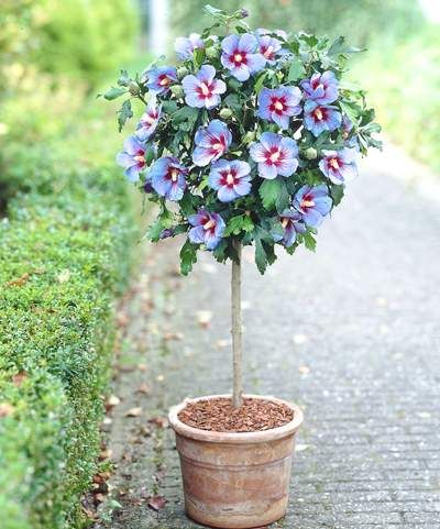 Large, Rare Blue Hibiscus Flowers  - • Large, beautiful blue flowers with a purple/red