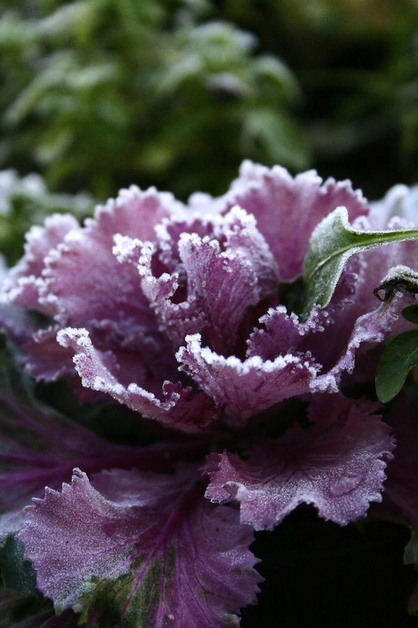 frost on ornamental cabbage
