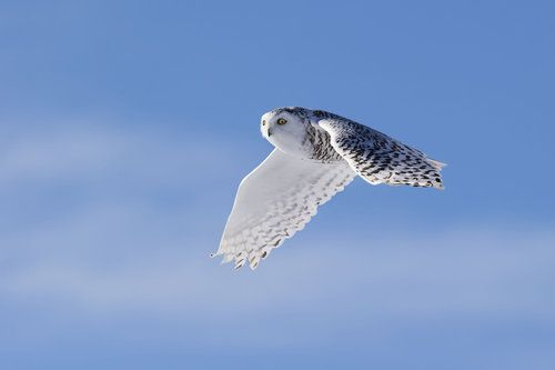 Snowy Owl by Phillip Chang