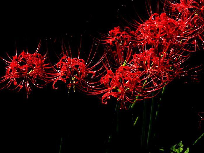 Этот цветок считается в Японии зловещим и вместе с тем притягательным. По преданию, кровавые цветы вырастали на месте битв и войн, а, как известно, Япония очень неспокойная в этом плане страна была, - враждующие сёгуны, самураи, ниндзя, ямабуши и масса оружия, отсюда и его названия. Higanbana не сажают в садах или около домов, так как он символизирует мёртвых.  В Японии этот цветок цветет в период осеннего равноденствия, который называется «хиган», поэтому и название его получилось…