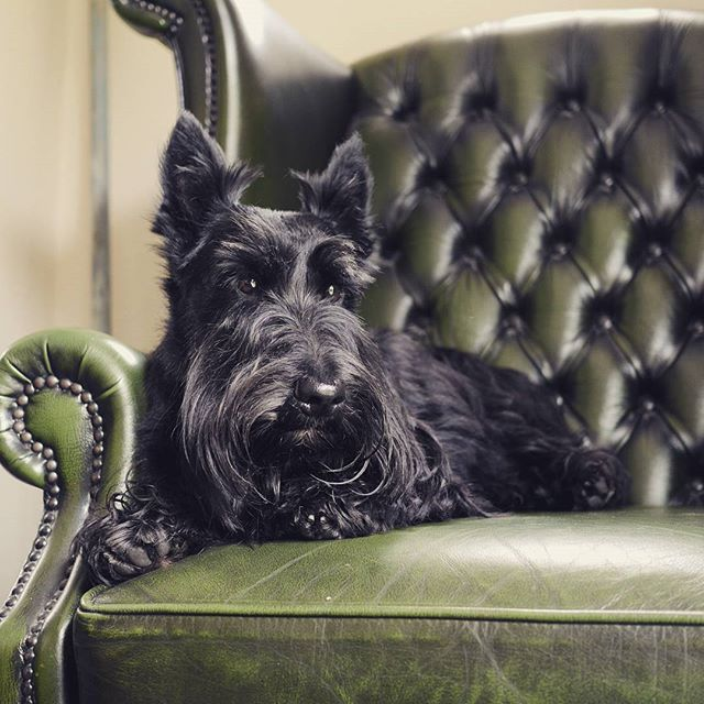 Reggie's the Scottish Terrier is having a day's rest today because he's absolutely shattered!