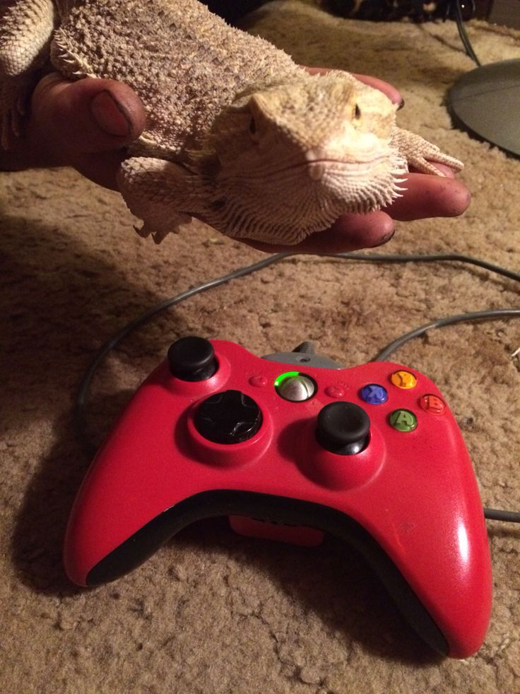 This is Levi my German giant bearded dragon. He is still a baby but he is over 1 1/2 foot long baby! Lol I love him