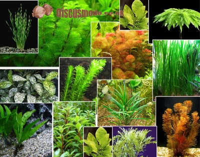 14 best images about fish tanks freshwater tropical on for Plants that live in a pond