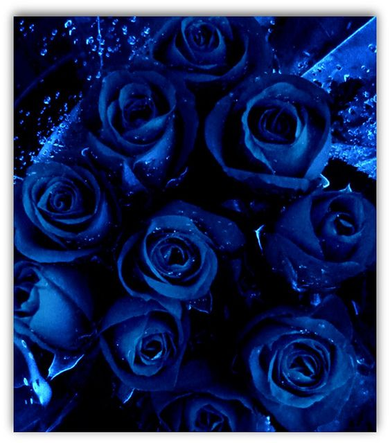blue roses | Roses ----Flowers ----Plants | Pinterest ...