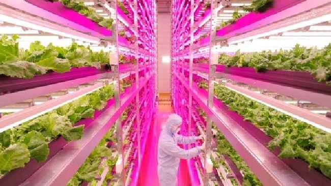 Giappone, la lattuga si coltiva con i Led