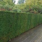 Immergrünen Heckenpflanzen - Koniferen - Eibe oder Taxus online bestellen. Hohe Qualität zu konkurrenzfähigen Preisen, schnell und korrekt geliefert.