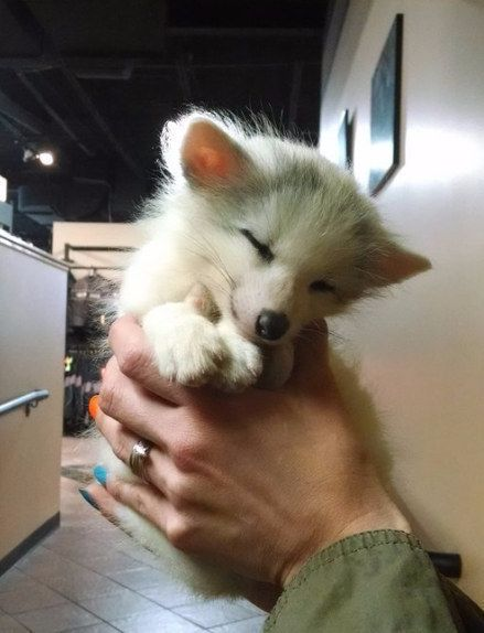 And when this arctic fox pup was the sleepiest little pile of fuzz. | 29 Of The Fluffiest Things That Happened In 2015