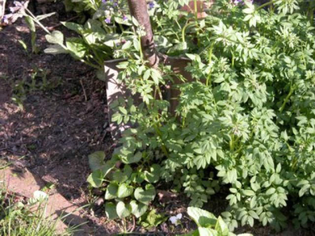 Knowing When - and How - to Divide Perennial Plants: Dividing Perennial Plants without Digging the Original Plant