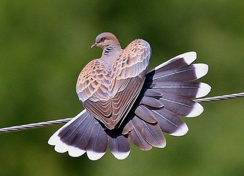 oriental turtle dove....note the big behind. bahahahhahahaha that's why i call you my turtle dove.