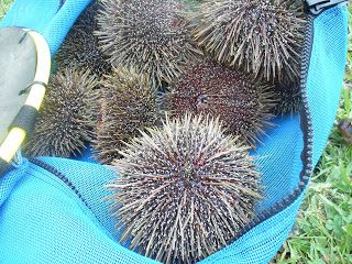 KINA is the Maori name for the local sea-urchin. Under the spines the shell is shaped like the Kina Lamp with similar surface patterns. #nz