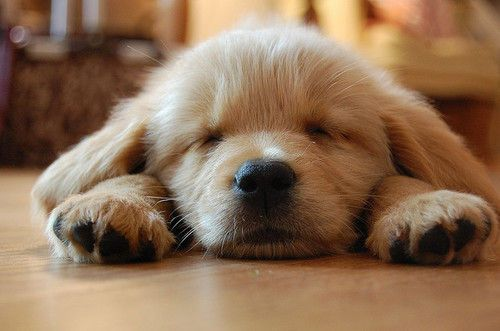 golden puppies are the best