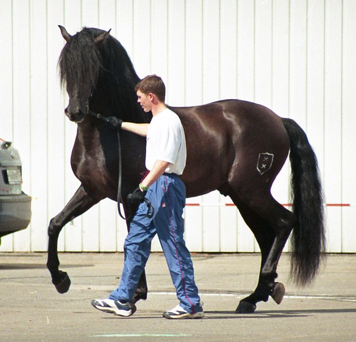 Andalusian horse - Wikipedia, the free encyclopedia