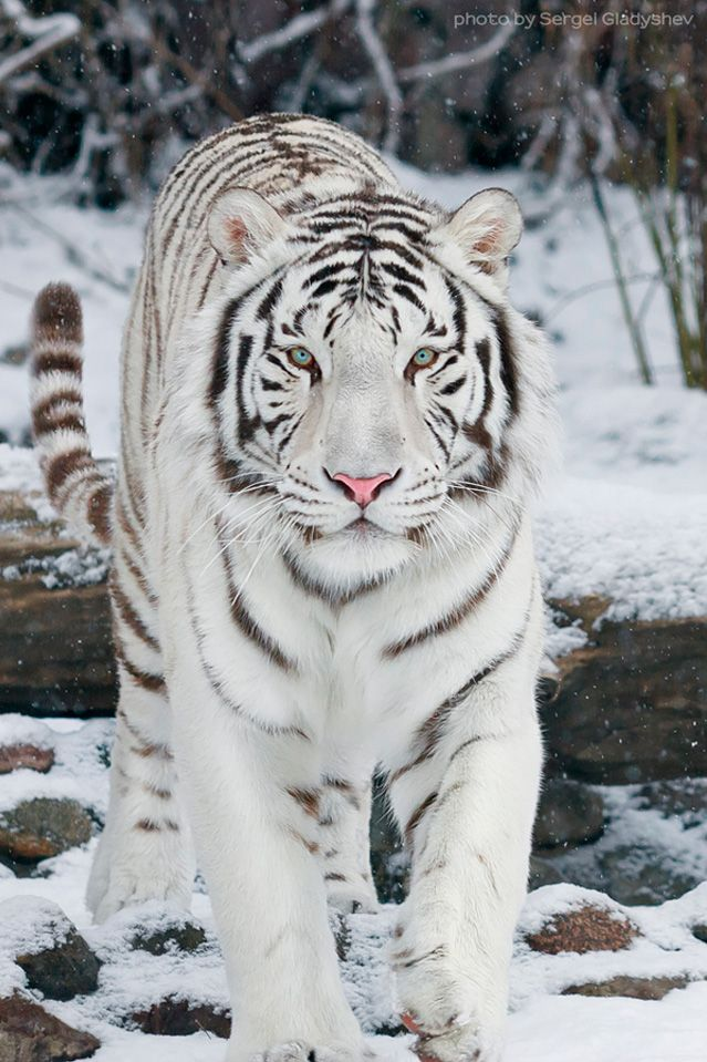 Blue Eyed White Tiger in Snow | animals wildlife | Animals ...