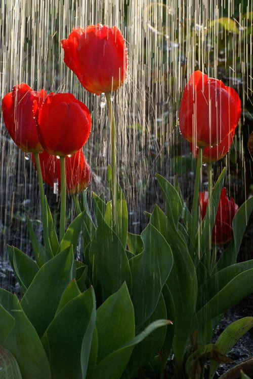 Tiptoe thru the tulips inbetween raindrops.