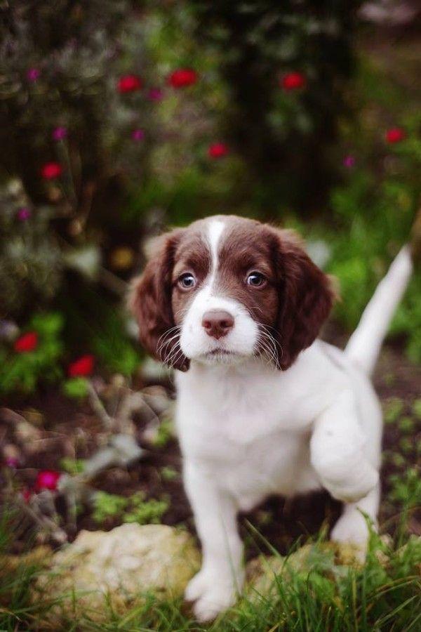 English Springer Spaniel ~ love when the pointer breeds start to point.