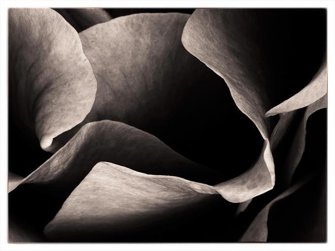 By the edge: Soft Petals, Botanical Photography, International Petals, Beautiful Texture, Sumptuous Texture, B W Photography, Photographers Art, Flowers, Photography B W