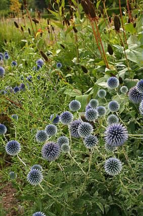 19 best images about echinops ritro on pinterest herbaceous border florists and thistles. Black Bedroom Furniture Sets. Home Design Ideas