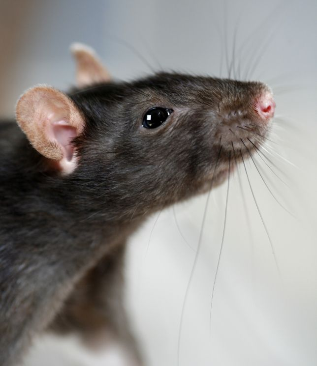 We offer professional household and commercial removals, safe content storage or specializing in the removal and control of bats, birds, bees, opossum, rats, raccoons, snakes, and squirrels. Call Critter & Pest Defense @407-373-4515, and our #Professional Rat Removal Experts help you to remove the pests from home. More Info:  http://www.critterandpestdefense.com/rat-removal/