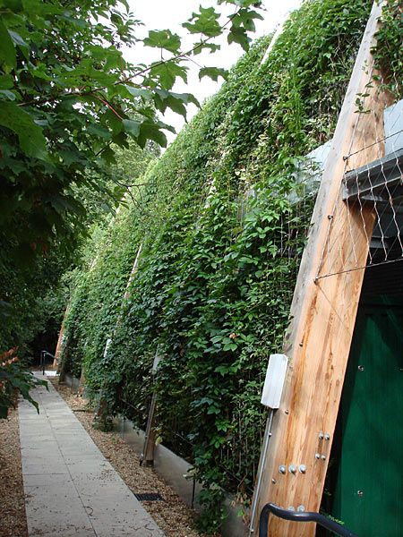 St Dominic's College Harrow. Greenwall of climing plants on Jakob Webnet. Almost full coverage of plants after 4 months