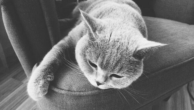 My British Shorthair Cat :)